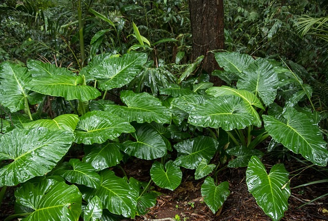 アロカシアとは?珍しい観葉植物の特徴や花言葉と育て方をご紹介!