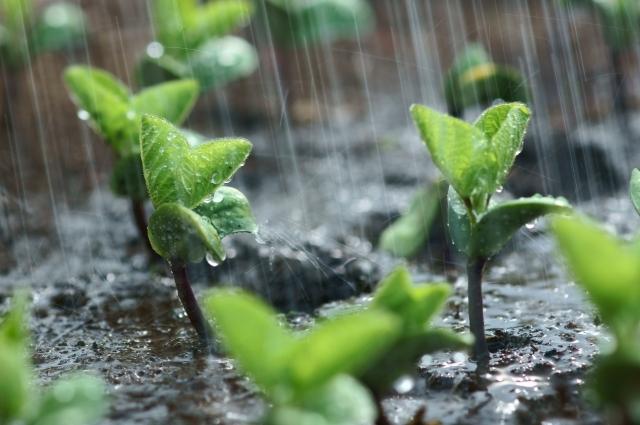 6月に植える・植えられる野菜7選!梅雨に植え付けできる野菜は?