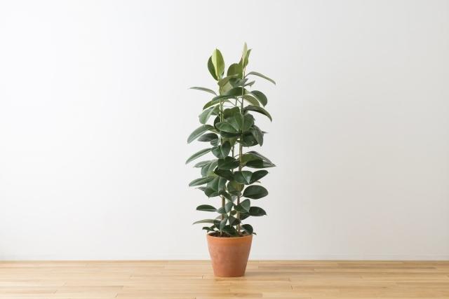 ゴムの木の育て方!伸びすぎた葉や枝はどこを切る?剪定の時期は?