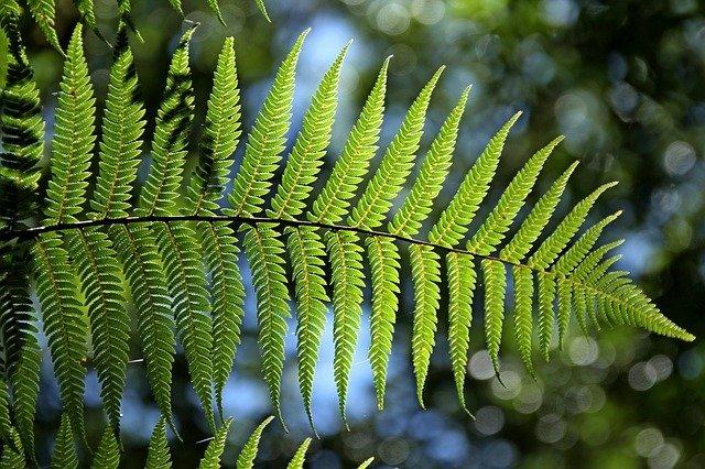 ヘゴとは?ヘゴの木のこと?観葉植物としての特徴や種類をご紹介!