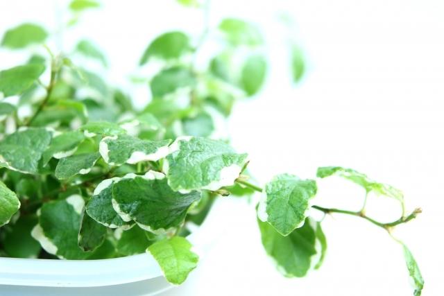 フィカス・プミラとは?観葉植物としての種類や特徴・花言葉をご紹介!