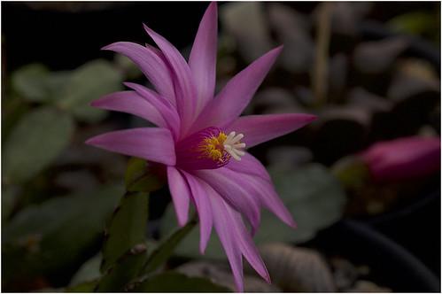 ホシクジャク(星孔雀)ってどんな植物?葉や花の特徴や花言葉を紹介!