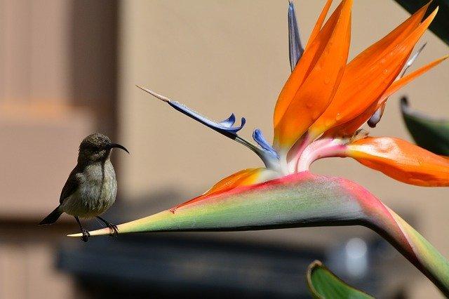 ストレリチアの育て方!花を咲かせるために知っておくべき管理のコツは?