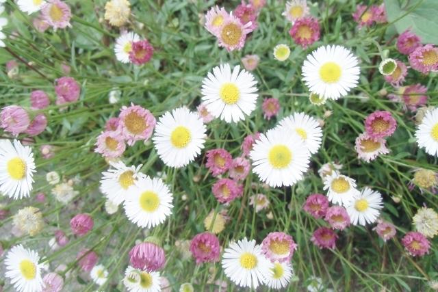 エリゲロンとは?どんな種類がある?花言葉や開花時期などの特徴も紹介!