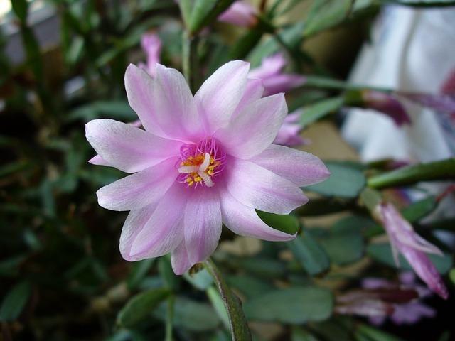 イースターカクタスとは?特徴や挿し芽での増やし方など育て方を解説!