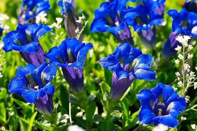リンドウ(竜胆)の花言葉とは?花の特徴や開花時期も併せてご紹介!