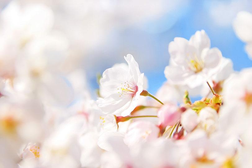 桜の花言葉ってなに?桜にも花言葉がある?桜の種類別で花言葉は違う?