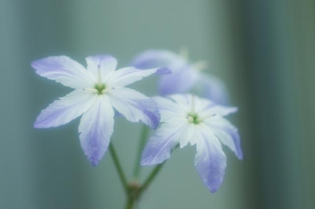 リューココリーネとは?開花時期や花言葉などの特徴や育て方を紹介!