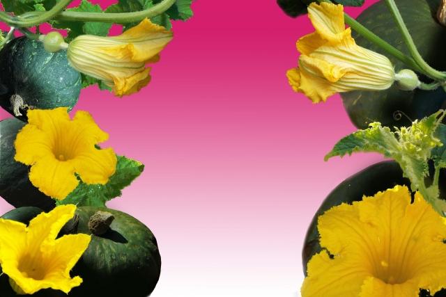 かぼちゃの花ってどんなの?雄花と雌花の見分け方は?食べ方やレシピも紹介!