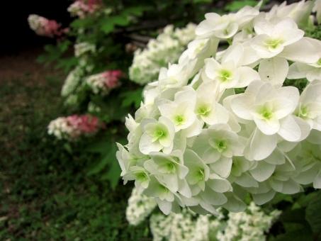 カシワバアジサイの育て方!鉢植えでの管理や剪定方法などをご紹介!
