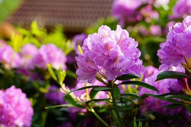 シャクナゲ(石楠花)の花言葉とは?種類や花の特徴も詳しくご紹介!