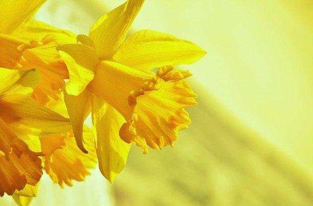 ラッパスイセンとは?開花時期や香りなど花の特徴や花言葉をご紹介!