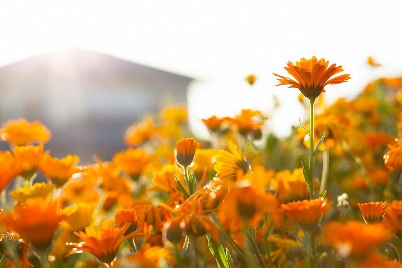 オレンジ色の花図鑑(20種類)季節別にオレンジに咲く植物をご紹介!