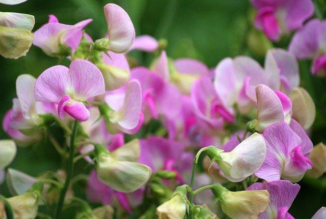 スイートピーとは?赤やピンクなど色別・品種別の花言葉や特徴を紹介!