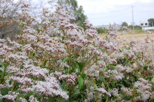 フジバカマとは?秋の七草の1つに数えられる植物の特徴や花言葉を紹介!