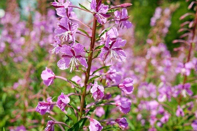 アカバナ(赤花)ってどんな植物?葉や花の特徴や開花時期をご紹介!