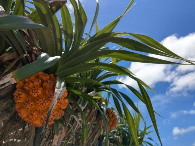 アダンってどんな実?パイナップルに似た実の味・特徴や食べ方を解説!