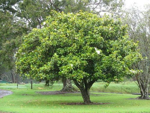 タイサンボク(泰山木)とは?その特徴や剪定方法などの育て方を紹介!