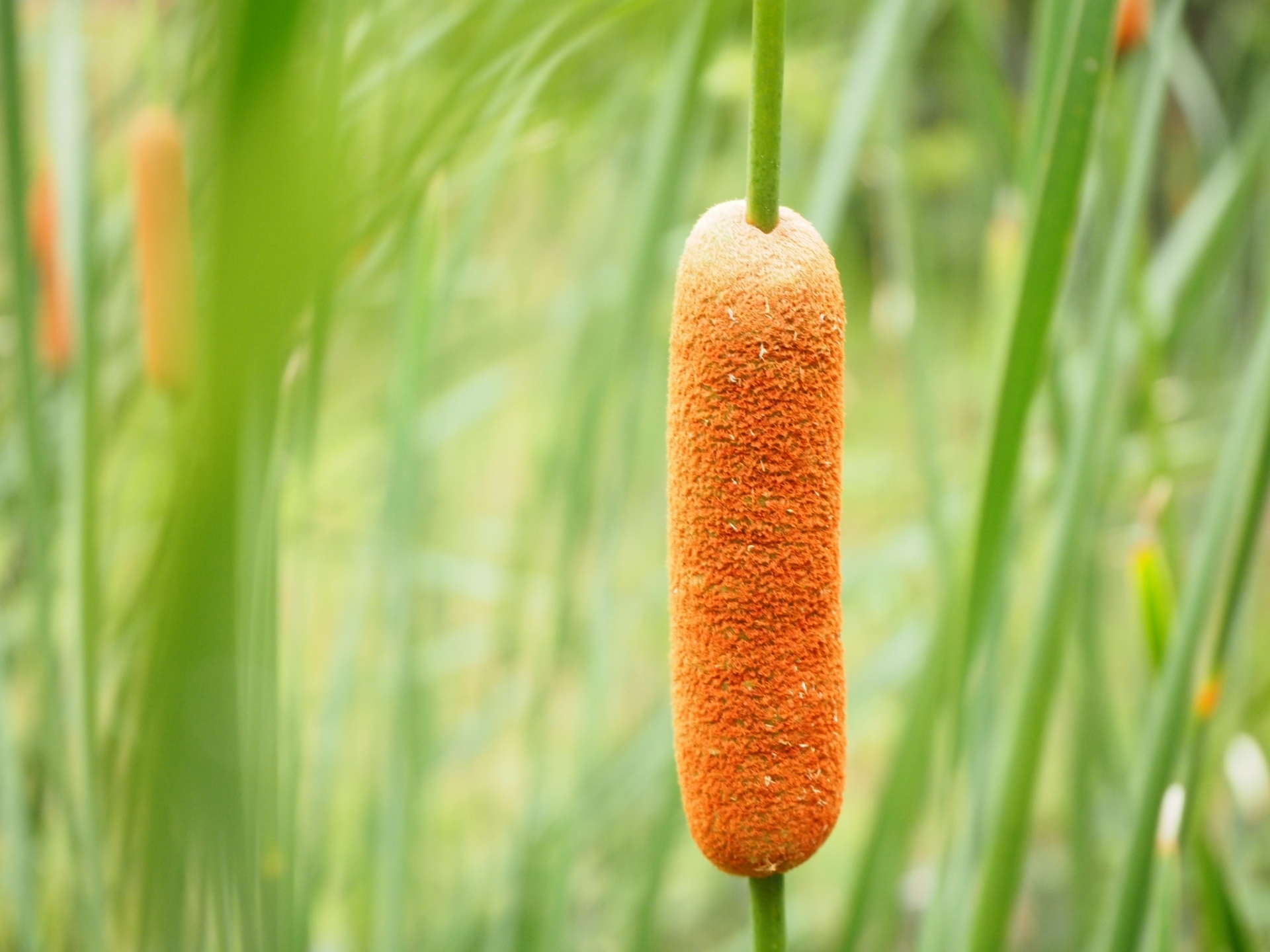 ガマ(蒲)とはどんな植物?特徴や育て方を解説!食べることもできる?