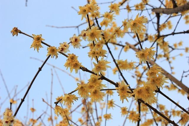 ロウバイ(蝋梅)とは?その特徴・種類や育て方をご紹介!開花時期は?