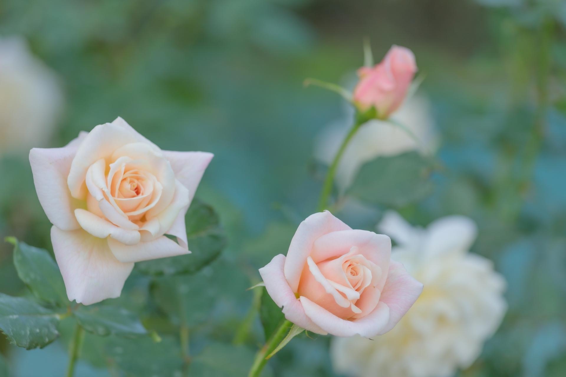 バラの香りに種類はある?7つの系統(タイプ)とその代表品種をご紹介!