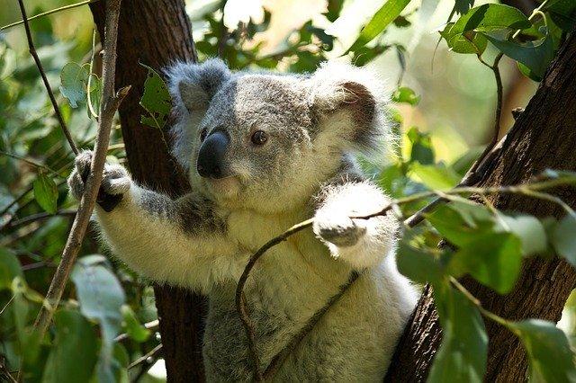 コアラはなぜユーカリが好きなの?ユーカリの毒性はコアラには効かない?