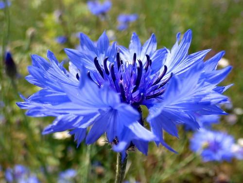 ヤグルマギク(矢車菊)とは?特徴や育て方をご紹介!種まきはいつ頃?