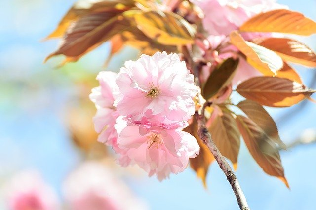八重咲きってどんな咲き方?意味や特徴を解説!一重咲きとはどう違う?