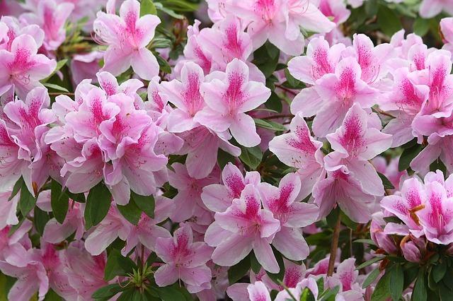 アザレアの花言葉とは?白やピンクなど色別の違いはある?開花時期は?