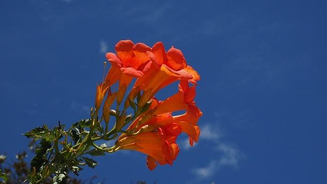 ノウゼンカズラ(凌霄花)とは?鮮やかなオレンジ色の花の特徴を紹介!