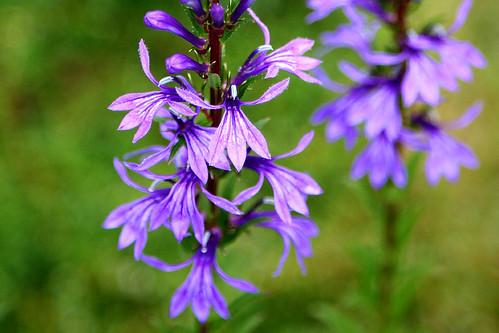 サワギキョウ(宿根ロベリア)とは?花言葉などの特徴や育て方をご紹介!