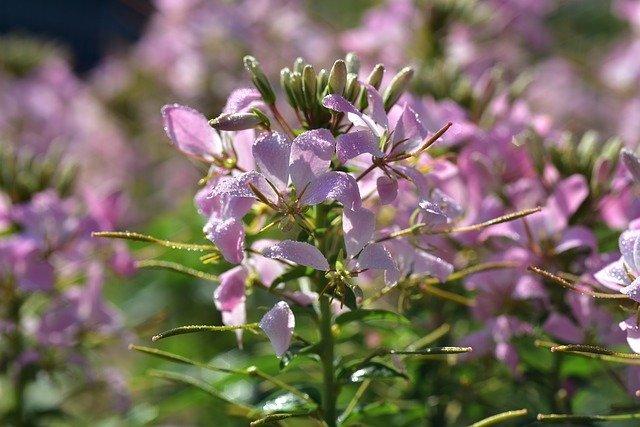 クレオメ(西洋風蝶草)とは?名前の由来や花言葉などの特徴をご紹介!