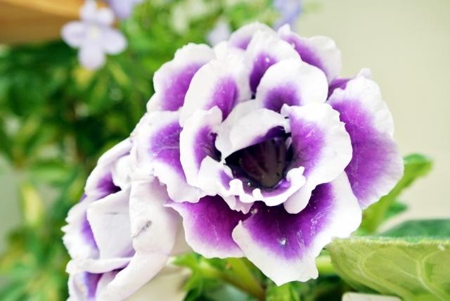 グロキシニアってどんな植物?花言葉・開花時期などの特徴や育て方は?