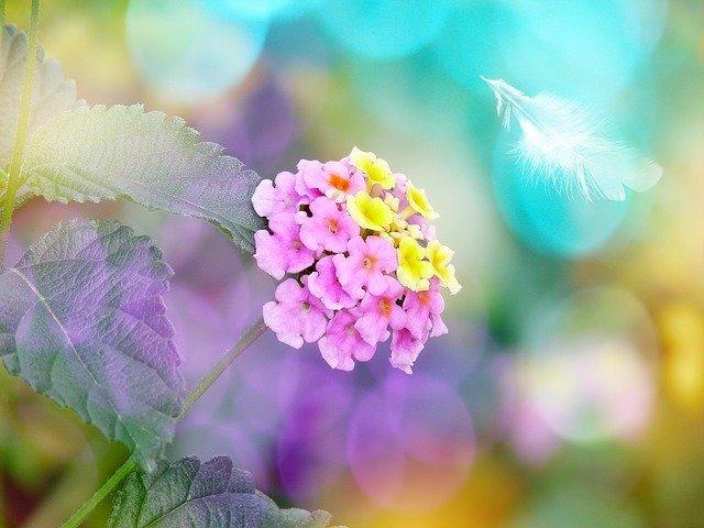 ランタナ(七変化)とは?名の通り花色が変化する理由や特徴をご紹介!