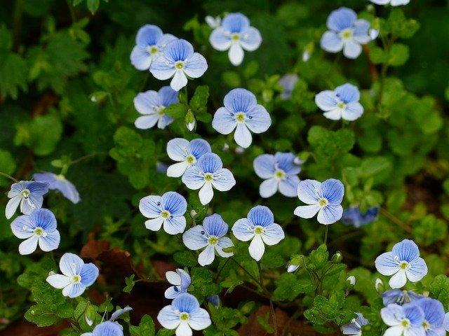 ワスレナグサの育て方!種まきから開花までの管理や寄せ植えのコツは?