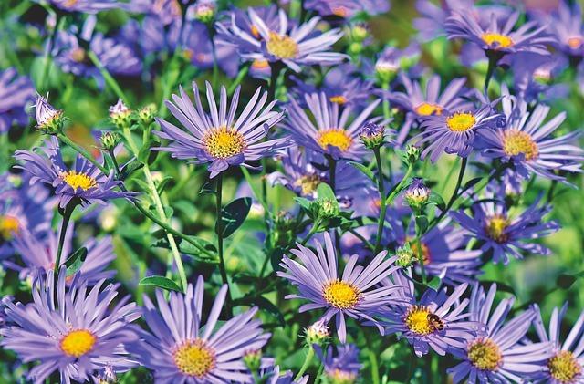 シオン(紫苑)の花言葉とは?その意味・由来や開花時期をご紹介!