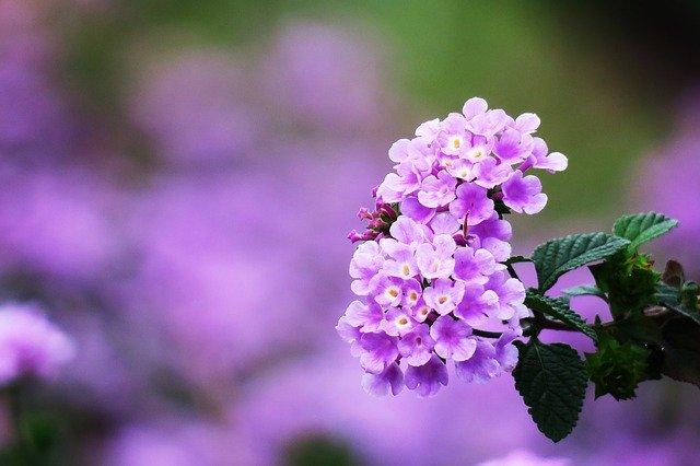 ランタナの花言葉とは?花の色が変化しながら咲くことと関係がある?