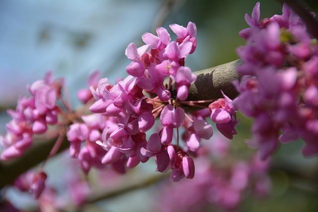ハナズオウ(花蘇芳)とは?花言葉や開花時期などの特徴をご紹介!