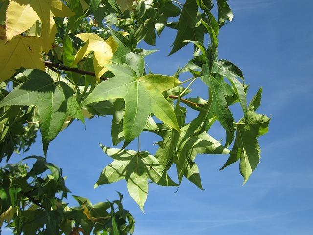 モミジバフウとは?紅葉や新緑が美しい葉・実の特徴や育て方をご紹介!
