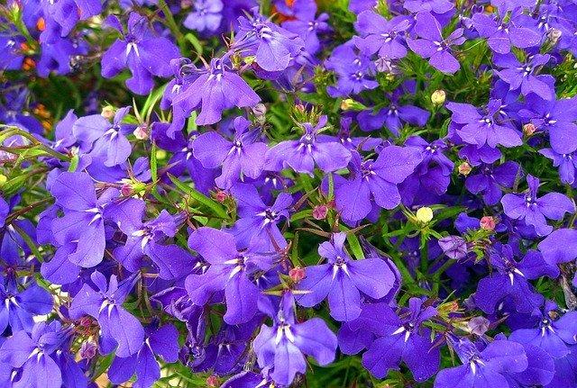 ロベリアの花言葉とは?種類別や色別の花言葉はある?開花時期はいつ?