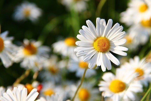デージーの育て方!可愛い花を咲かせるための基本的な管理や増やし方!