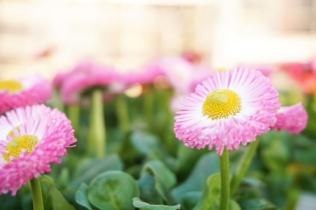 デージーとは?花言葉などの特徴や種類を紹介!開花時期はいつ?