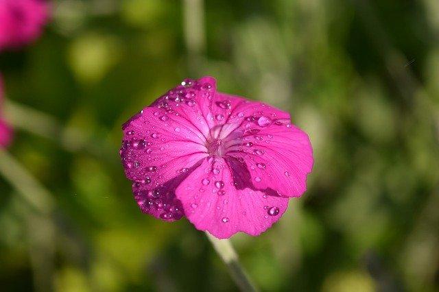 スイセンノウとは?花言葉・開花時期などの特徴や育て方をご紹介!