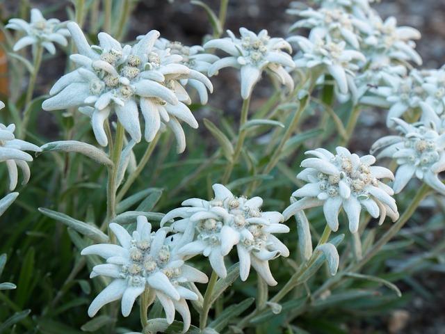 ウスユキソウとは?名前の由来や開花時期などの特徴や花言葉を紹介!