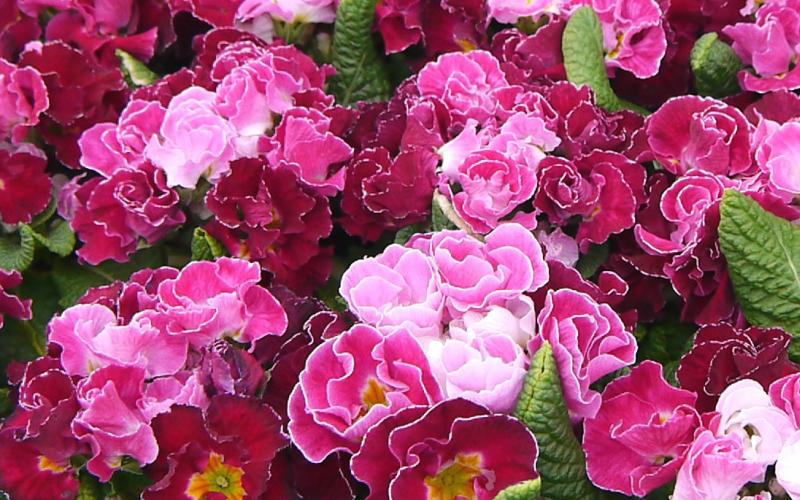 プリムラジュリアンとは?花言葉や開花時期などの特徴や種類をご紹介!