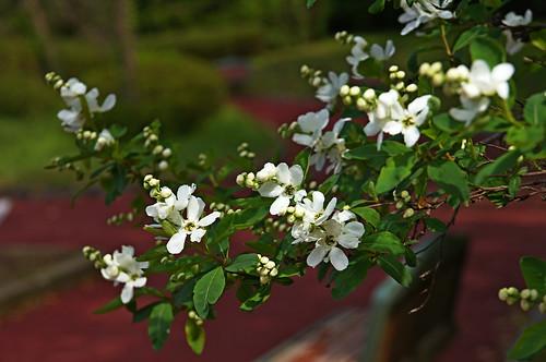 リキュウバイ(利休梅)とは?樹木としての特徴や育て方をご紹介!