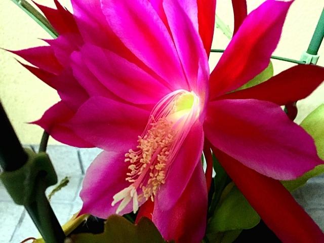 クジャクサボテンとは?その代表品種・種類や花言葉などの特徴を紹介!