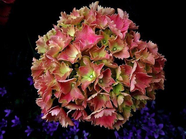 秋色アジサイとは?花の色が変化する仕組みや育て方・飾り方をご紹介!