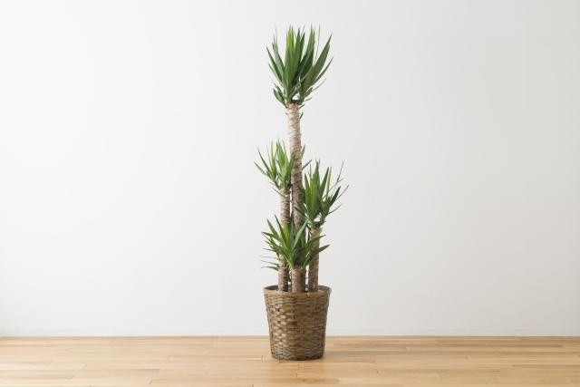 青年の木とは?名前の由来や特徴・育て方は?葉が垂れてきたらどうする?