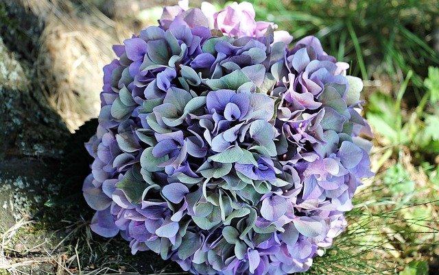 の 紫陽花 仕方 剪定